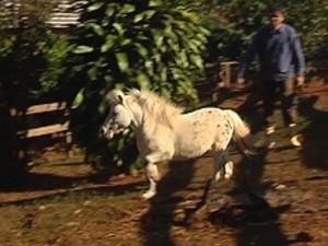 Mini cavalos são dóceis e dão menos gastos (Foto: Reprodução / TV Tem)