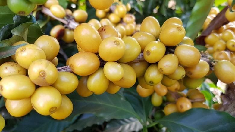 café-Iapar (Foto: Divulgação/IAPAR)