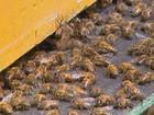 Uso incorreto de agrotóxicos é a principal causa da morte de abelhas