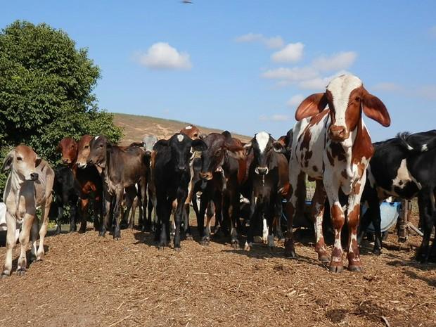 Bovinos e babulinos (búfalos) devem ser vacinados contra a doença (Foto: Divulgação/Governo do ES)