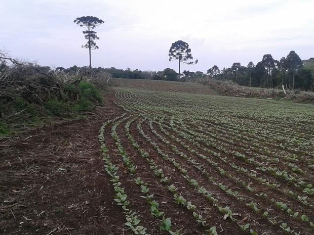 Árvores em risco de extinção foram derrubadas em Rebouças (Foto: Divulgação/Polícia Ambiental)