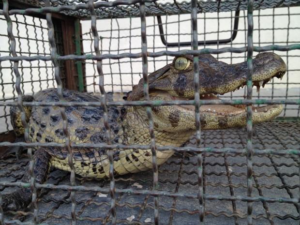 Jacaré-do-papo-amarelo foi capturado às margens da BR-230, em João Pessoa  (Foto: Walter Paparazzo/G1)
