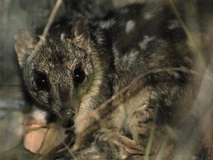 Gato Marsupial está ameaçado de extinção.  (Foto: Foto: Wildlife Explorer/Wikimedia Commons)