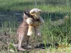 Veja canguru bebê abraçado a urso de pelúcia e mais momentos fofos