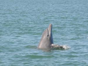 Biólogos, oceanógrafos e alunos da Universidade preferem chamar os golfinhos de botos, mas garantem que não há diferença nos nomes (Foto: Projeto Botos da Lagoa dos Patos)