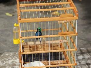 Pintor-verdadeiro, espécie ameaçada de extinção (Foto: Divulgação/ CPRH)