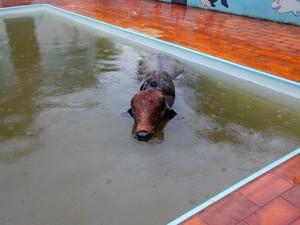 Boi ficou praticamente encoberto pela água da piscina (Foto: Antônio Luiz Vendramini/ VC no G1 )