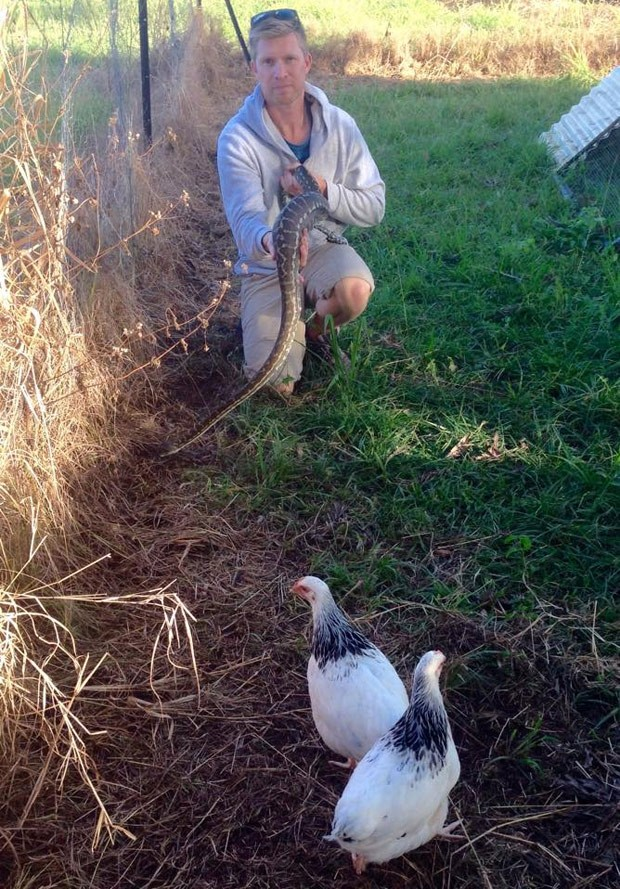 Píton de quase 2 metros foi capturada em galinheiro na Austrália (Foto: Reprodução/Facebook/Sunshine Coast Snake Catchers 24/7)