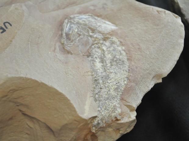 Fóssil de peixe encontrado em Alto Garças (Foto: Carolina Holland/G1)