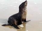 Lobo-marinho visita praia de SP para descansar e surpreende banhistas