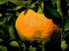 Em MG, agricultores estão satisfeitos com o preço da tangerina ponkan