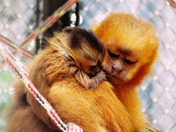 Filhote de macaco-prego-galego nasce no Parque Zoobotânico Arruda Câmara, em João Pessoa (Foto: Fabiana Verniani / Secom-JP)
