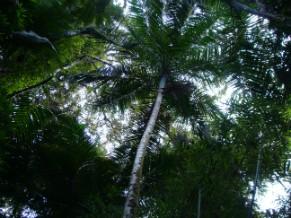 Palmeira Juçara esteve ameaçada (Foto: Divulgação)