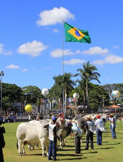 gado-brahmann  (Foto: ABCZ/Divulgação)