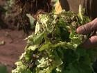 Excesso de chuva no noroeste do PR traz prejuízo a produtores de hortaliças