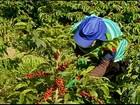 Início da colheita do café ajuda a gerar empregos no sul de MG