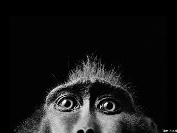 São cerca de 150 imagens em grande formato retratando exemplares de flora e fauna colhidas por fotógrafos internacionais. Uma delas é esta, que mostra bem de perto os olhos de um macaco da espécie 'Macaca nigra', feita por Tim Flach (Foto: Getty Images)