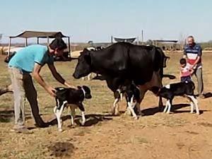 Vaca dá à luz a trigêmeas em Patos de Minas, MG (Foto: Reprodução/TV Integração)