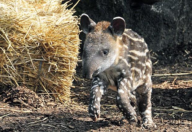 Exemplar da anta brasileira, ou Tapirus terretris, em zoológico  (Foto: Reprodução/Flickr/Sabine Bresser)