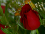 Região espera aumento de 50% na venda de rosas para o Dia da Mulher