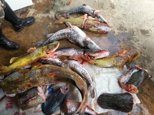 Pescado apreendido em Camapuã pesou 81 quilos de pescado (Foto: Divulgação/ PMA)