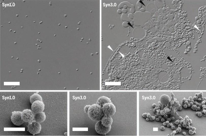 A Syn 03 e sua antecessora. Nenhuma forma de vida conhecida tem genoma menor que o dela (Foto: Graig Venter/ Divulgação)