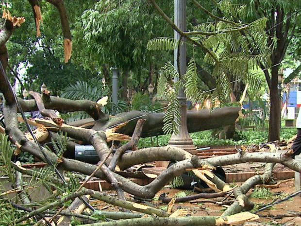 Árvore de 10 metros de altura cai em praça de Ribeirão Preto, Sp (Foto: Fábio Júnior/EPTV)