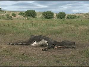 Animais estão morrendo por causa da seca (Foto: Reprodução/ TV Gazeta)