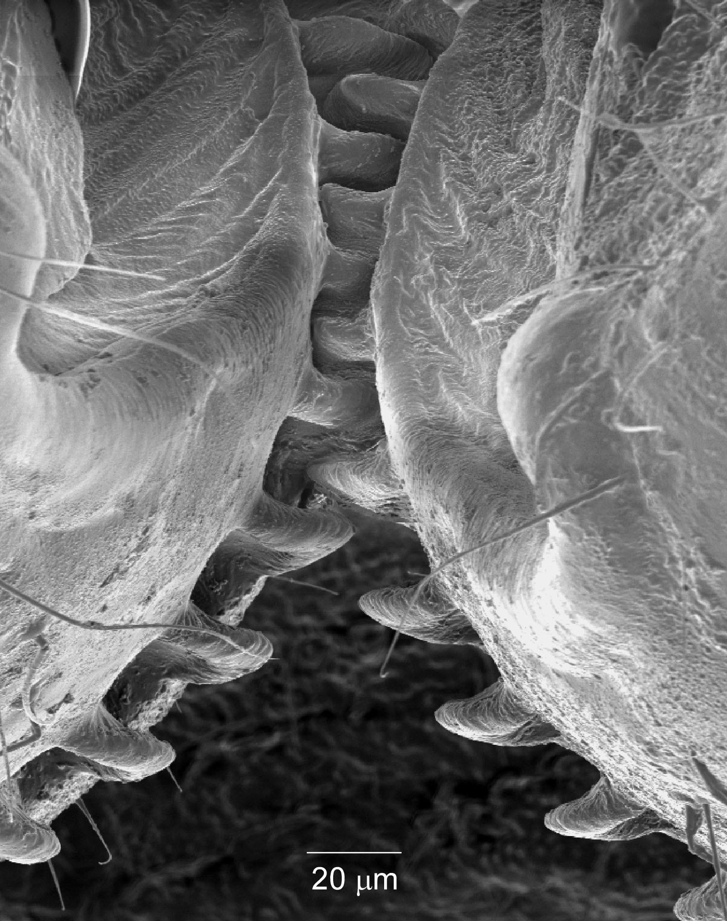 Imagem feita com equipamento especializado mostra as engrenagens existentes nas pernas de insetos do gênero Issus (Foto: Malcolm Burrows/Science)
