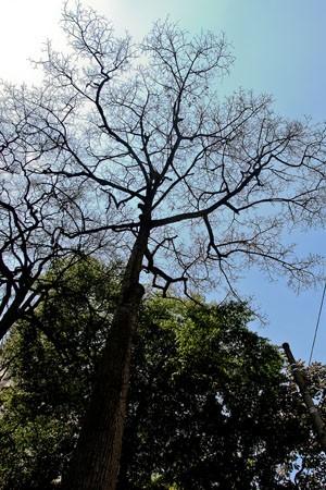 Paineira antiga da Praça Dom José Gaspar, próxima à biblioteca Mário de Andrade (Foto: Marcelo Ferrelli/SOS Mata Atlântica/Divulgação)