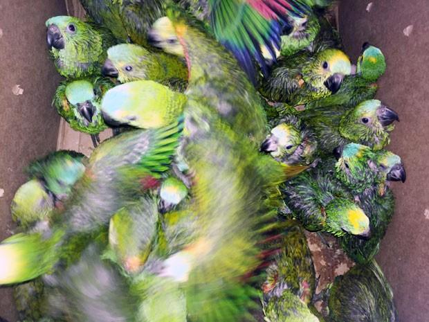 Do total de filhotes apreendidos, 123 eram de papagaios (Foto: Murilo Zara/TV Fronteira)