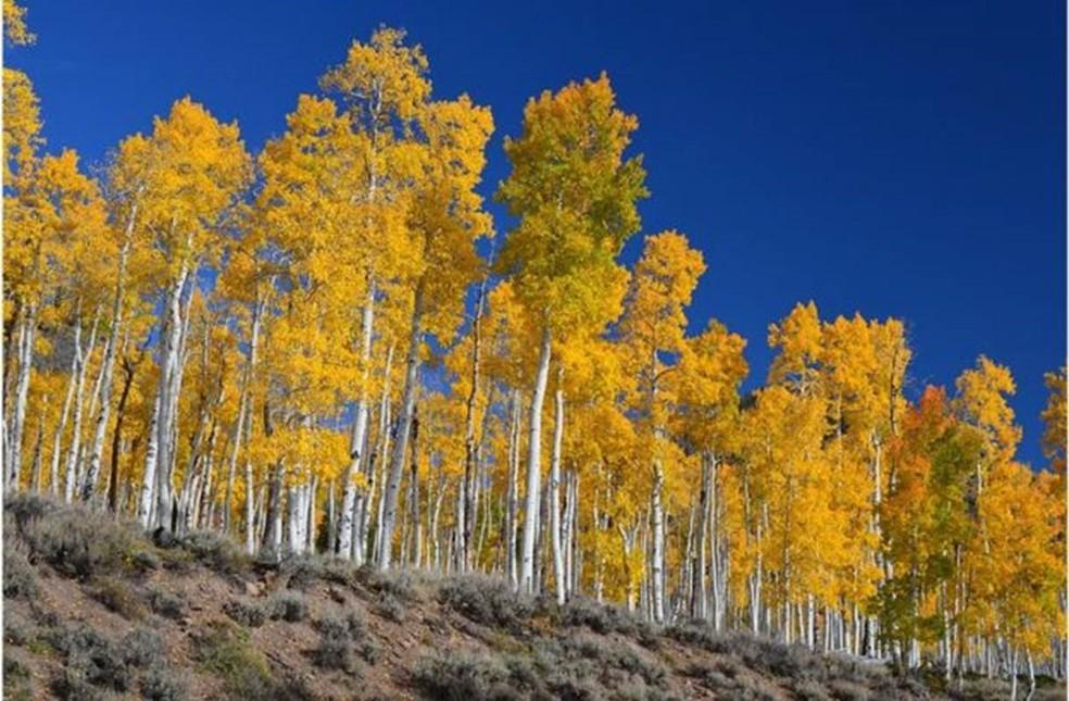 'Pando' está localizado na Floresta Nacional de Fishlake, em Utah, nos EUA  (Foto: J.Zapell)