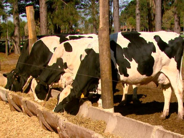 Vacas precisam de alimentação saudável e elementos especiais (Foto: Reginaldo dos Santos/ EPTV)