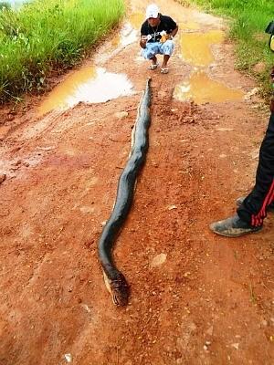 Cobra foi localizada por moradores (Foto: Reprodução/TV Amazonas)