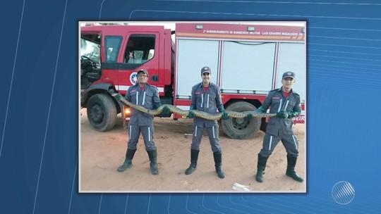 Cobra de três metros é resgatada por bombeiros em Luís Eduardo Magalhães, na Bahia