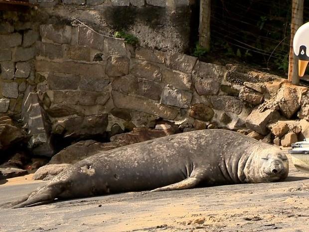 Elefante marinho tem chamado atenção pelas prais de Vila Velha  (Foto: Foto: Reprodução / TV Gazeta)