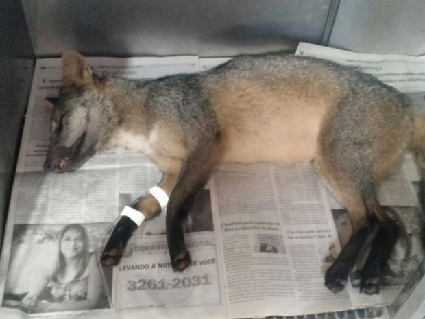 Cachorro do mato foi encontrado atropelado  (Foto: Evandro Vaz da Silva/ arquivo pessoal )