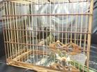 Homem com três gaiolas de passáros da espécie curió é preso em Rondônia