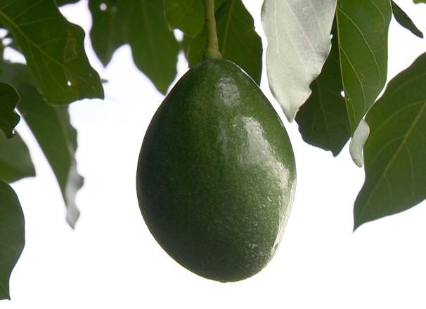 Abacate no Oeste Paulista teve boa colheita (Foto: Reprodução TV Fronteira)