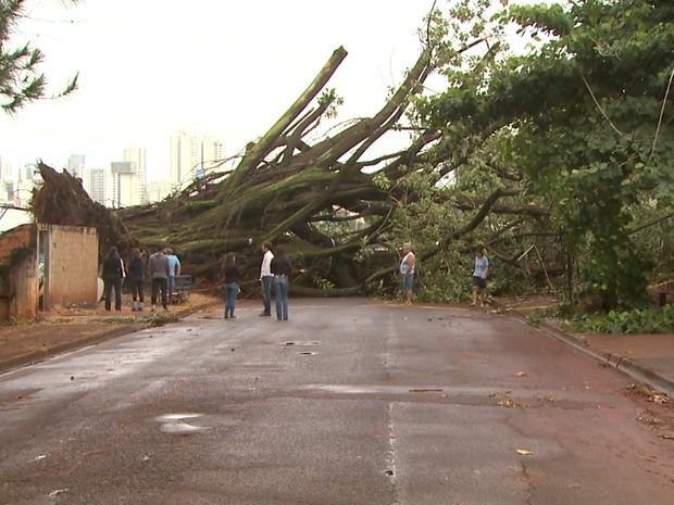 Seringueira com 40 metros caiu durante chuva em Ribeirão Preto (Foto: Maurício Glauco/EPTV)