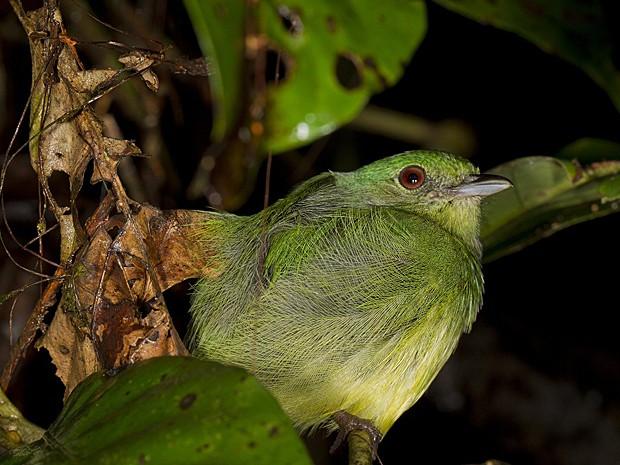 Pássaro Bolívia Madidi (Foto: Mileniusz Spanowicz/WCS)