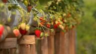 Produtores de morango têm expectativa de manter números da safra passada