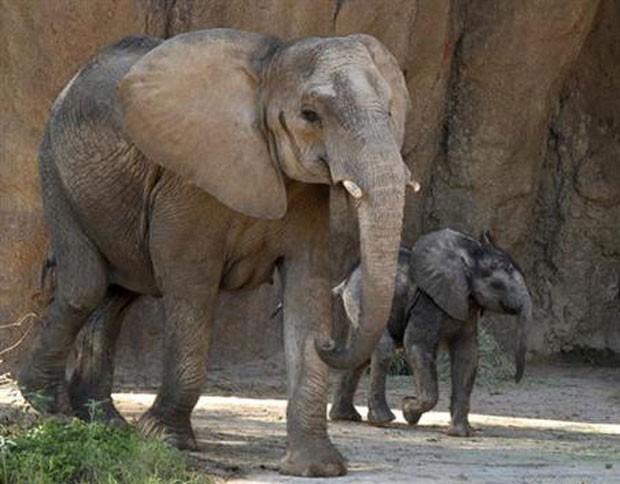 Ajabu, filhote de elefante do Zoológico de Dallas, durante sua primeira aparição pública ao lado da mãe, Milo (Foto: The Dallas Zoo via AP)