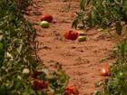 Em SP, seca reduz a expectativa de aumento na safra do tomate