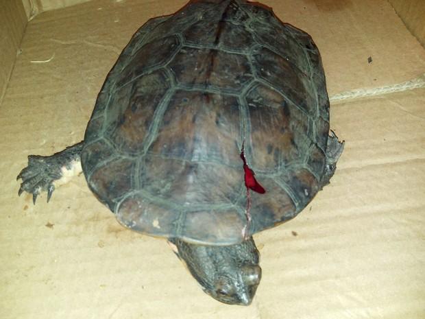 Animal teve ferimentos no casco após ser atropelado  (Foto: Arquivo Pessoal)