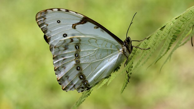 Vive em florestas úmidas ou chuvosas, áreas alagadas ou trechos de riachos dentro de matas fechadas (Foto: Rudimar Narciso Cipriani)