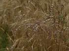 Grão de má qualidade torna a safra de trigo a pior dos últimos 10 anos no RS