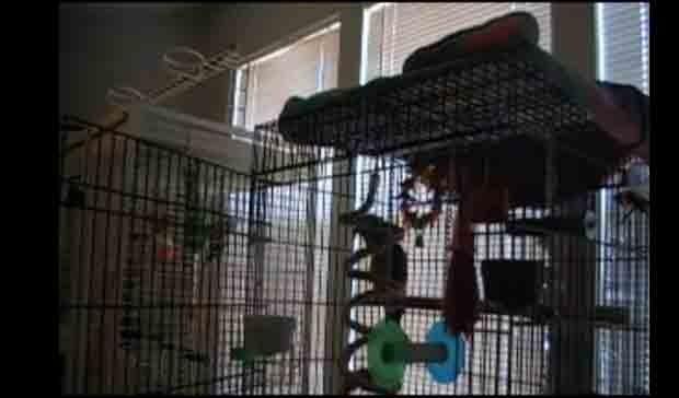 "O papagaio canta a letra da música de heavy metal ""Let the bodies hit the floor"" (Foto: Reprodução)"