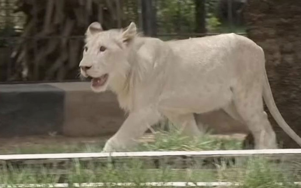 Imagem retirada de vídeo mostra o filhote de leão branco nascido no zoo Al Zawra, em Bagdá, no Iraque (Foto: Reuters/via Reuters TV)