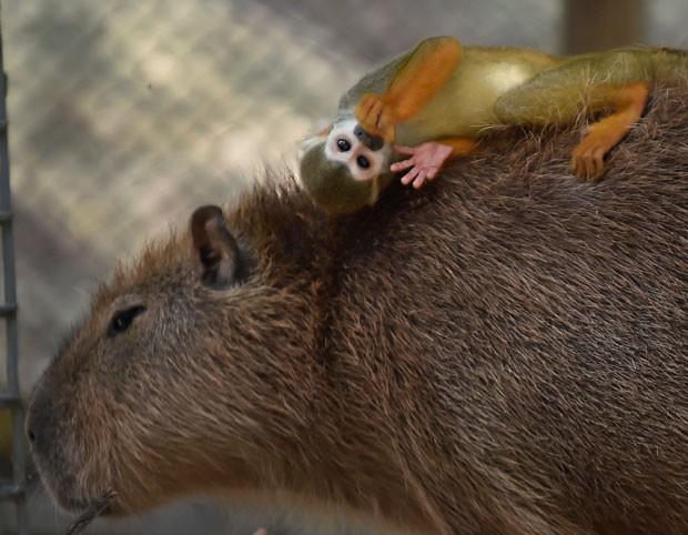 Close mostra a expressão relaxada do macaquinho sobre a capivara (Foto: Kazuhiro Nogi/AFP)